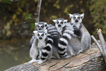 A Group Of Ring-tailed Lemurs ...