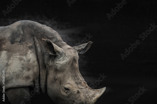 Keuken foto achterwand Neushoorn rhino animal black and white background, can use as poster or conservation concept