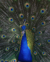 Sharp Peacock Portrait.