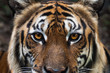 tiger face as background, focus at eyes