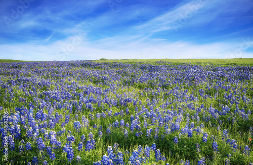 Fotobehang Cultuur Texas Bluebonnet field blooming in the spring. Blue sky with clouds.