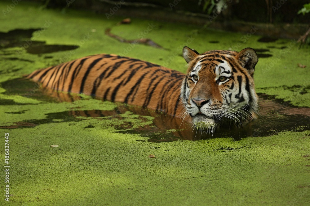 Siberian tiger, Panthera tigris altaica, swimming in the water directly in front of the photographer. Dangereous predator in action. Tiger in green taiga habitat. Beautiful wild animal in captivity.