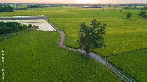 Deurstickers Groene big tree along footpath beside two paddy fields