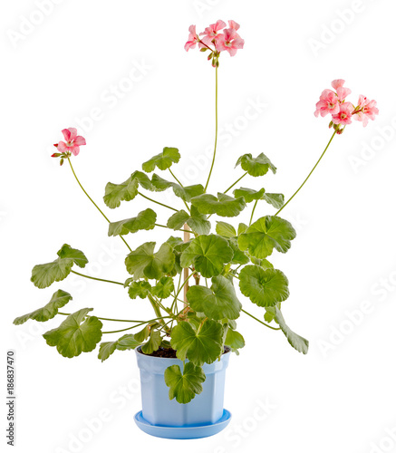 Isolated on white background a home flower in a bowl. Pelargonium, the family of geranium.