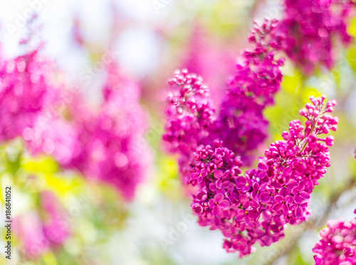 Staande foto Roze Blooming branch of lilac. Abstract floral background. Selective focus