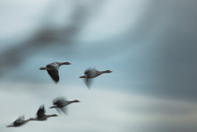 Flying Ducks With Fuzziness