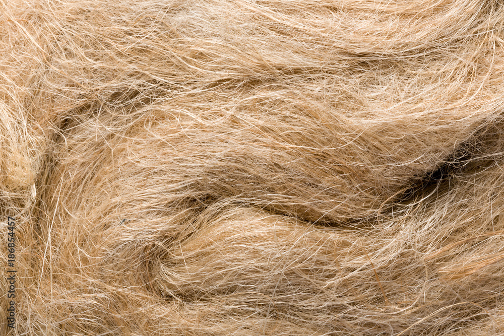 Fototapety, obrazy: Closeup of raw flax
