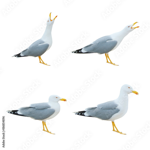 Close-up of big white seagulls standing screaming crying with open beak isolated on white background. Wall mural