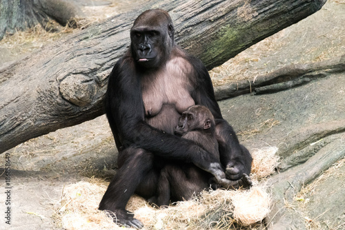 Gorilla with her baby in a zoo Canvas Print