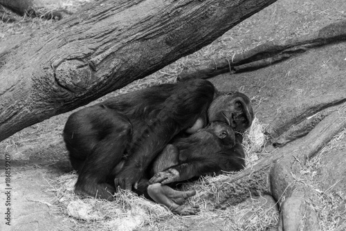 Photo Gorilla with her baby in a zoo