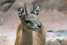 Small Young Klipspringer In A ...