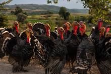 A Bunch Of Turkies