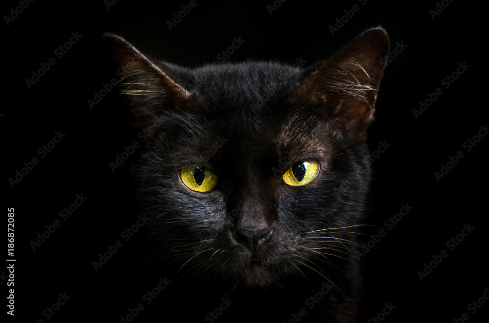 Fototapeta Closeup portrait black cat The face in front of eyes is yellow. Halloween black cat  Black background