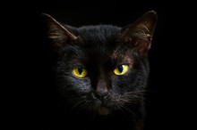 Closeup Portrait Black Cat The...