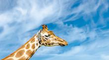 Giraffenkopf Vor Blauem Himmel...