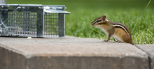 Chipmunk Is Attracted By Bait ...