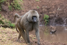 Baboon Family In Lake Manyara ...