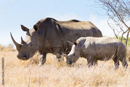 Spoed Foto op Canvas Neushoorn White rhinoceros with puppy, South Africa