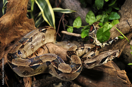 Abgottschlange (Boa constrictor imperator) - red-tailed boa