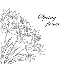 Vector Corner Bouquet With Outline Ornithogalum Or Star-of-Bethlehem Flower Bunch, Bud And Leaf In Black Isolated On White Background. Perennial Plant In Contour For Spring Design Or Coloring Book.
