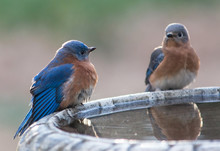 Male And Female Blue Birds
