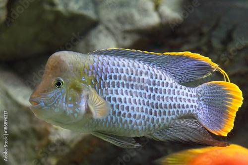 Andinoacara rivulatus. Colorful acara turquoise closeup Canvas-taulu