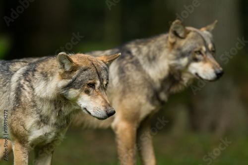 Fotobehang Ree Grey Wolf