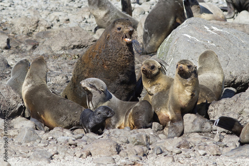 small harem is a northern fur seal on a rookery on a summer sunny day Canvas Print