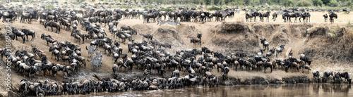 Obraz na plátně Great Wildebeest Migration Panoramic Scene