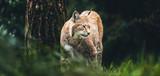 Eurasian lynx (lynx lynx) walking in grass in forest. - 186908629