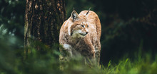 Eurasian Lynx (lynx Lynx) Walk...