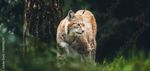 Eurasian lynx (lynx lynx) walking in grass in forest.
