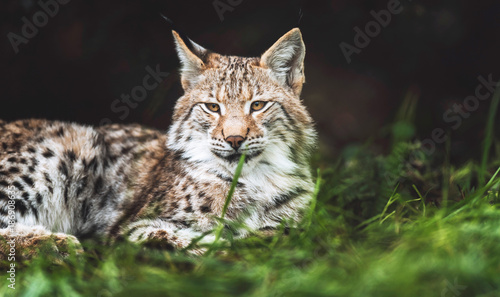 Foto op Plexiglas Lynx Eurasian lynx lying in grass looking towards camera.