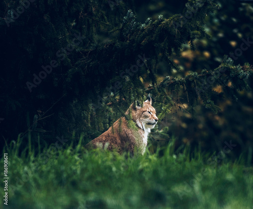 Fényképezés Eurasian lynx (lynx lynx) sitting under fir trees. Side view.