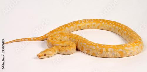 Fotografie, Obraz  Dunkler Tigerpython (Python molurus bivittatus) - Indian python - Albino