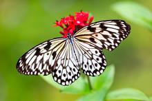 Big Butterfly Paper Kit (idea Leuconoe) On Red Blossom, Australia