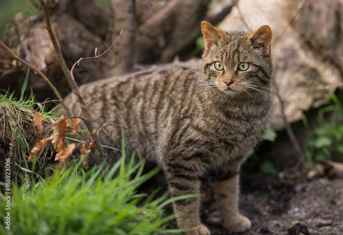 Fényképezés Scottish wildcat portrait