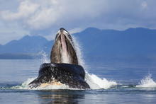 Humpback Whale Jumps Out Of Wa...