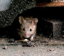Mouse Feeding In Urban House G...