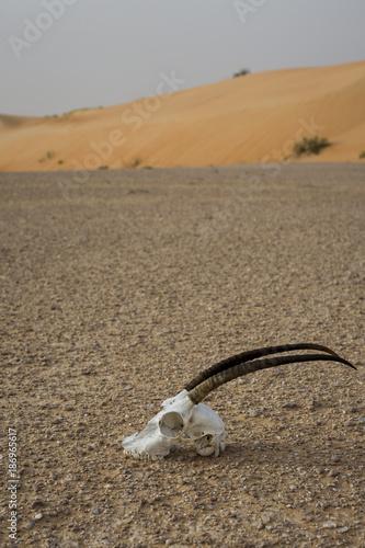 Antelope UAE, skull of antilope lying on the desert sand