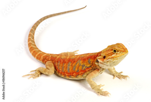 Bartagame (Pogona vitticeps) - bearded dragon / Cawley Super Red Leatherback