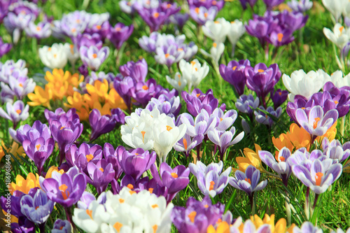 Door stickers Crocuses Krokusse