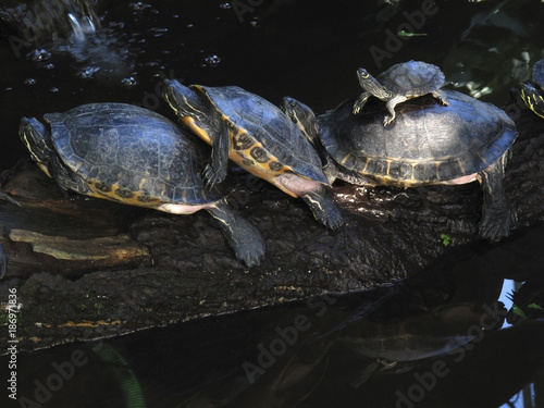 Row of three full-grown terrapins and young one on top of and old one
