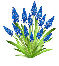 Muscari (grape Hyacinth). Hand Drawn Vector Illustration Of Bunch Of Blue Early Spring Flowers (muscari) With Green Leaves On White Background.