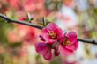 Blossoming almond tree, close-up