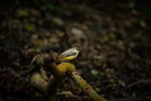 Motacilla Cinerea. Wild Nature...