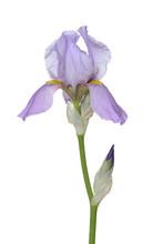 Iris Flower And Bud, White Background