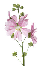 Inflorescence Of Pink Mallow F...