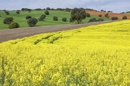 Spain, Castile-La Mancha, rape field in Guadalajara