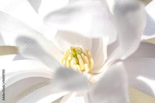 Blossom of star magnolia, close-up